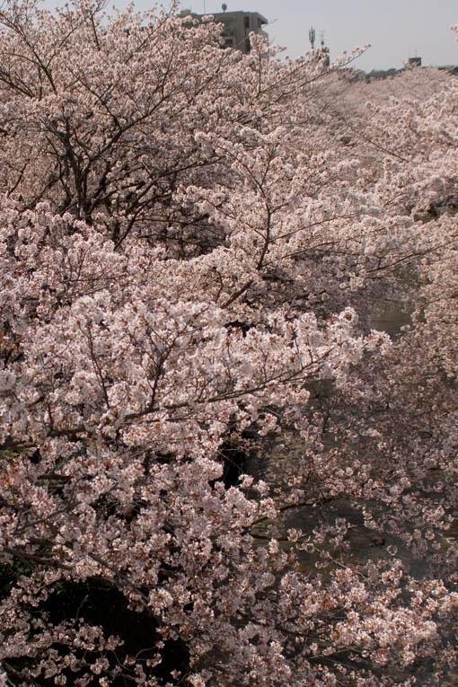 sakura_7.jpg